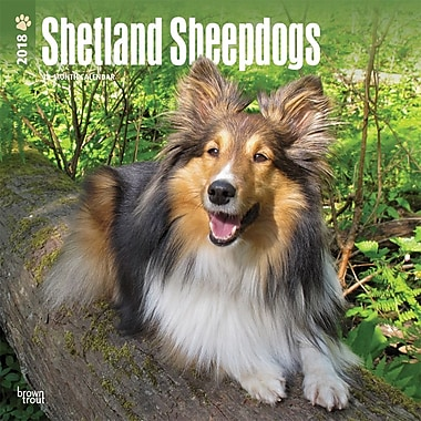 Shetland Sheepdogs 2018 12 x 12 Inch Square Wall Calendar