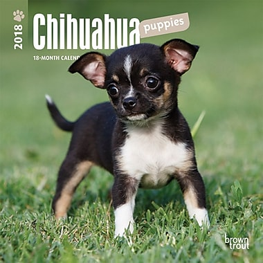Chihuahua Puppies 2018 Mini 7 x 7 Inch Wall Calendar