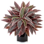 Nearly Natural Caladium in Black Glossy Planter (6940)