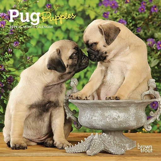 2019 Browntrout 7 X 7 Monthly Mini Wall Calendar Pug Puppies
