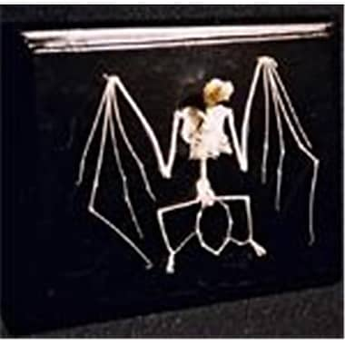 C & A Scientific Bat Skeleton On Finished Wooden Base With Transparent Cover (Cas009)