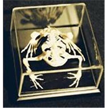 C & A Scientific Toad Skeleton (Cas002)