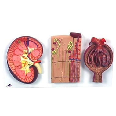 AWW Kidney Section with Nephrons Blood Vessels and Renal Corpuscle (AWW1280)