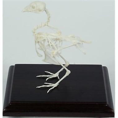 C and A Scientific Quail Skeleton (CAS520)