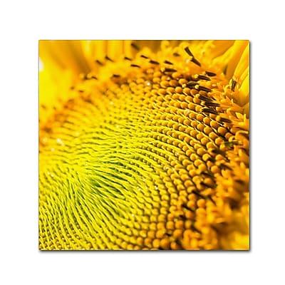 Trademark Fine Art Kurt Shaffer 'Glistening Sunflower Nectar' 18