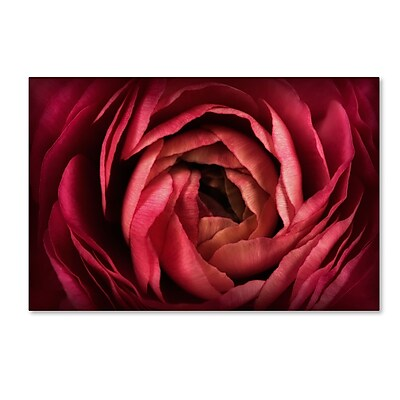 Trademark Fine Art Cora Niele 'Glowing Ruby Red Ranunculus' 12