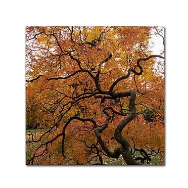 Trademark Fine Art Kurt Shaffer 'October Japanese Maple' 14
