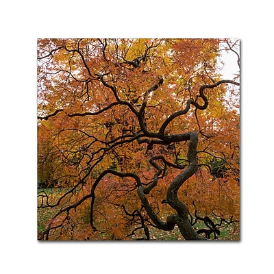 Trademark Fine Art Kurt Shaffer 'October Japanese Maple' 14