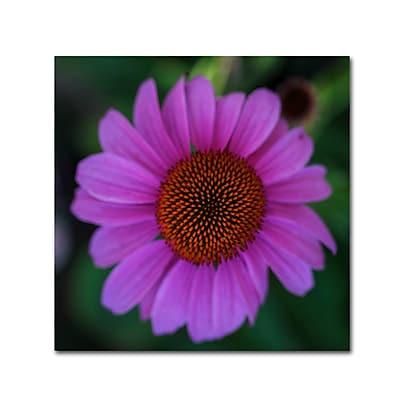 Trademark Fine Art Kurt Shaffer 'Purple Coneflower' 14