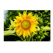 "Trademark Fine Art Kurt Shaffer 'Just a Sunflower' 12"" x 19"" Canvas Stretched (190836007035)"