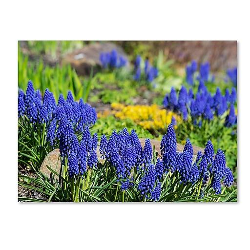 "Trademark Fine Art Kurt Shaffer 'Grape Hyacinth' 14"" x 19"" Canvas Stretched (190836000432)"