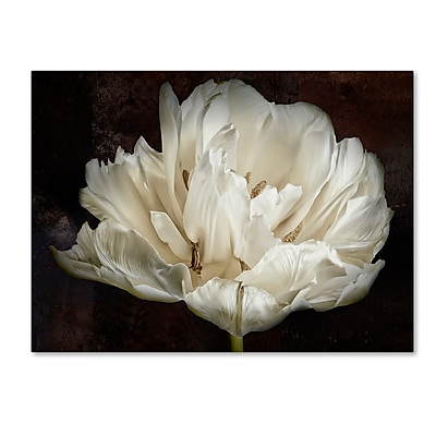 Trademark Fine Art Cora Niele 'Double White Tulip' 14