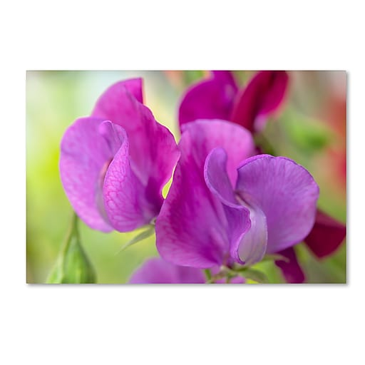 "Trademark Fine Art Cora Niele 'Two Sweet Pea Flowers' 12"" x 19"" Canvas Stretched (190836250646)"
