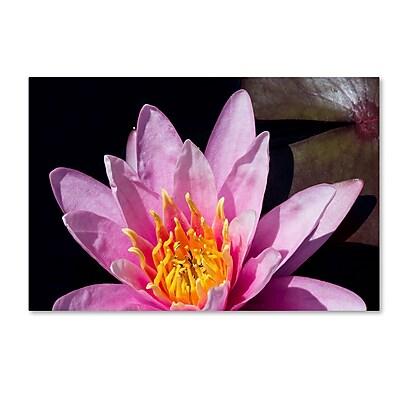 Trademark Fine Art Kurt Shaffer 'Pink Water Lily' 12