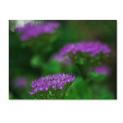 Trademark Fine Art Kurt Shaffer 'Purple Seedum' 14