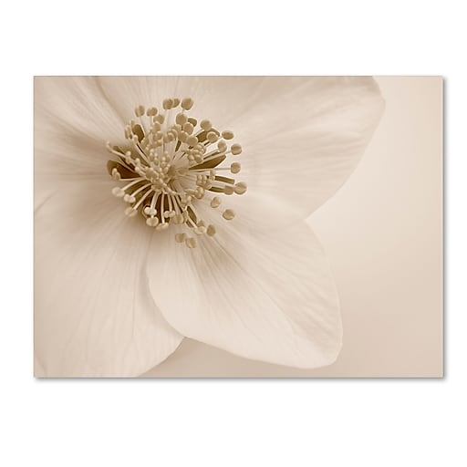 """Trademark Fine Art Cora Niele 'Hellebore Christmas Rose' 14"""" x 19"""" Canvas Stretched (190836257928)"""