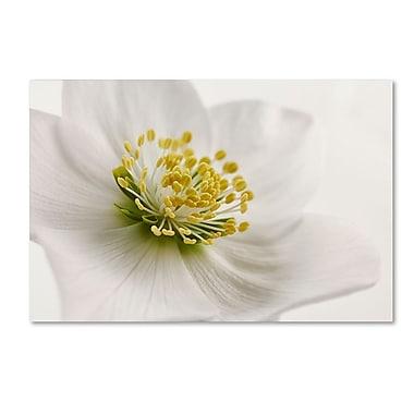 Trademark Fine Art Cora Niele 'White Helleborus' 22