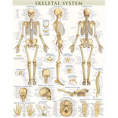 Barcharts Skeletal System-Laminated (Barch477)