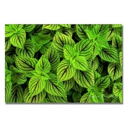 Trademark Fine Art Kathie McCurdy 'Coleus' Canvas Art