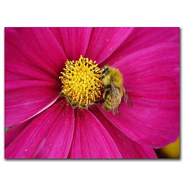 Trademark Fine Art Cosmos Bee by Kurt Shaffer-Ready to hang Gallery Wrapped